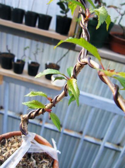 枝垂れ桜02
