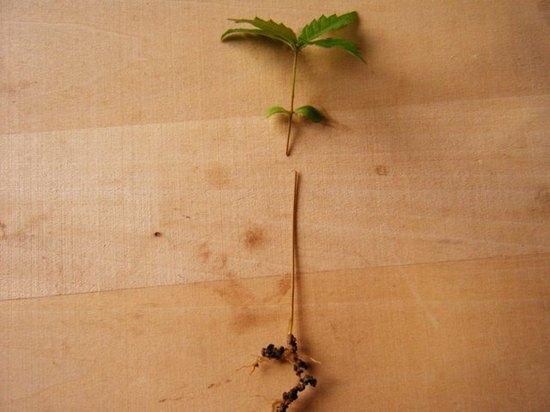 ケヤキ 軸切り挿し芽