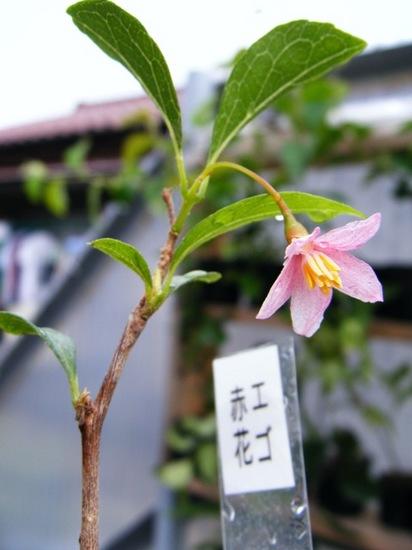 赤花エゴノキ