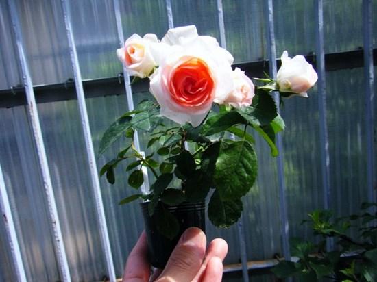 2009_0523 ホワイトピーチオベーション
